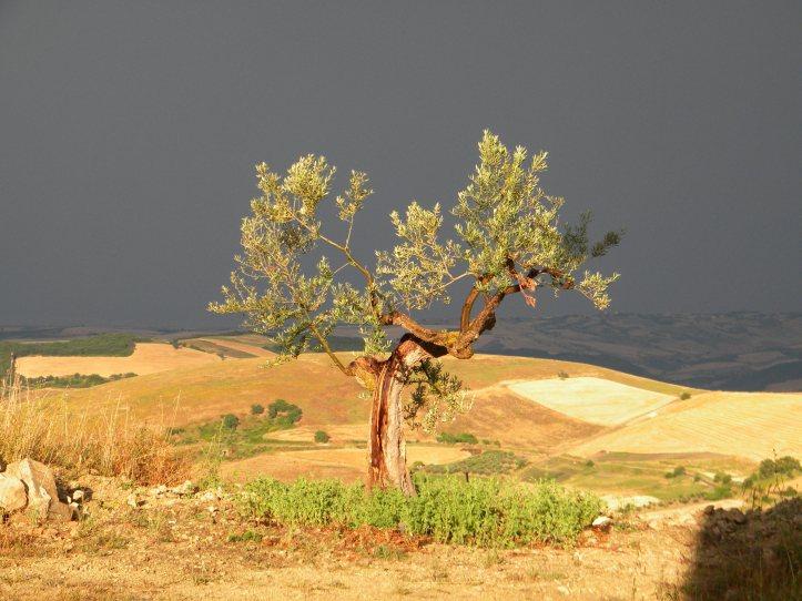 olivo-vecchio